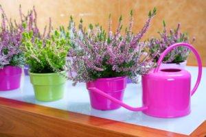 Sommerheide gießen und düngen So versorgen Sie die Strauchpflanze am besten