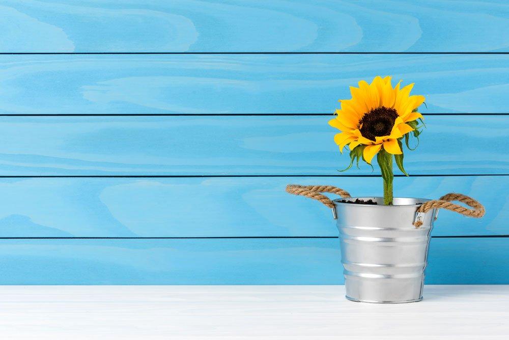 Sonnenblume als Topfpflanze ziehen – Tipps zu Topfgröße, Aussaat, Standort & Pflege