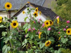 Sonnenblumen: Sorten