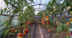 Tomaten im Gewächshaus pflanzen