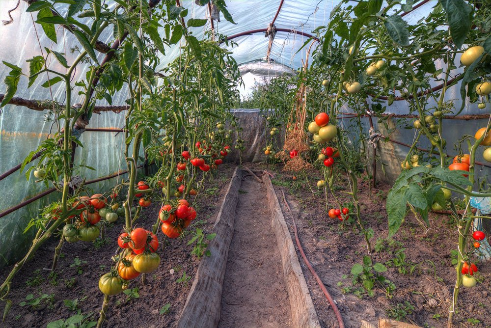 Tomaten im Gewächshaus pflanzen – Tipps für Anbau und Pflege