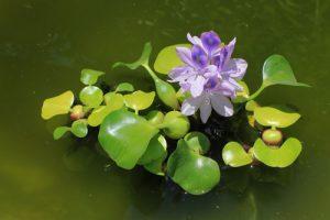 Wasserhyazinthen haben eindrucksvolle Blüten