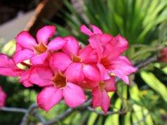 Wüstenrose vermehren - So klappt's per Aussaat und Stecklinge