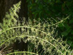 Zierspargel vermehren - 2 Möglichkeiten
