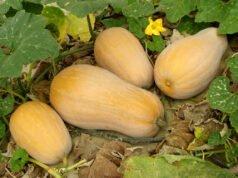 Butternusskürbis pflanzen