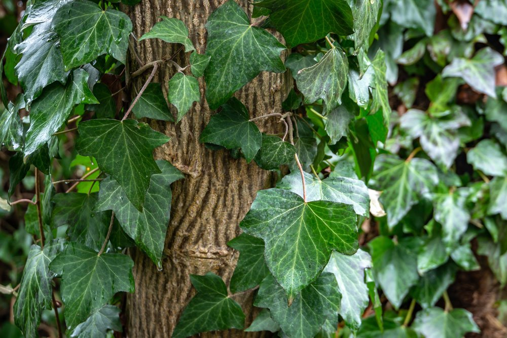 Efeu am Baum – Entfernen oder wachsen lassen?