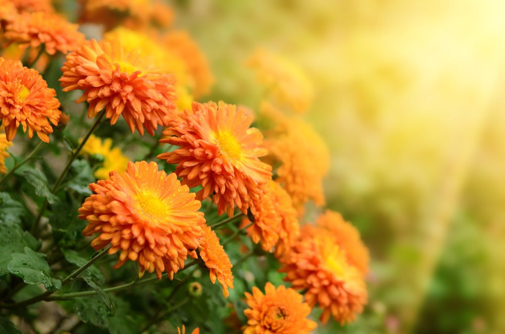 Indian Summer Feeling Chrysanthemen
