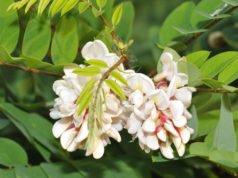 Robinie vermehren - Mit Samen und Wurzelausläufern geht's problemlos