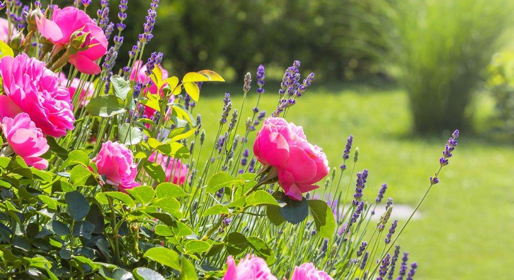 Rosen unterpflanzen - hier mit Lavendel