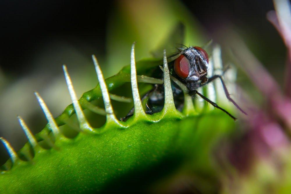 Venusfliegenfalle füttern