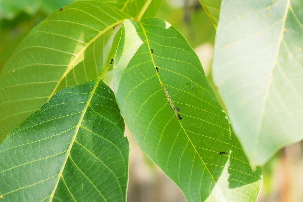 Walnussbaum Blattläuse