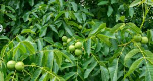 Walnussbaum Krankheiten Schädlinge