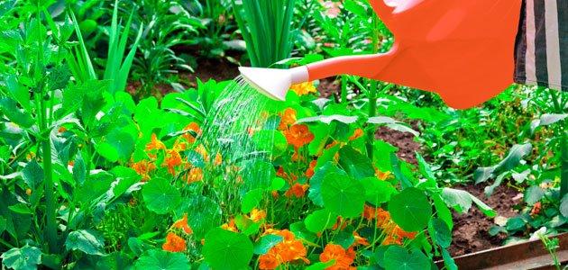 Kapuzinerkresse gießen