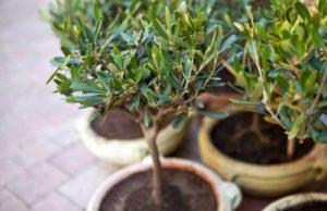Olivenbaum ins Freiland pflanzen