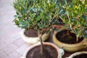 olivenbaum ins freiland pflanzen wichtige hinweise zu zeitpunkt standort boden berwinterung. Black Bedroom Furniture Sets. Home Design Ideas
