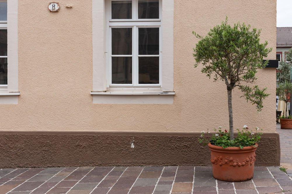 Olivenbaum überwintern