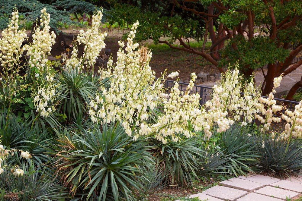 Palmlilie überwintern