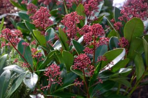 Die Skimmia hat immergrüne Blätter und rote Blütenknospen