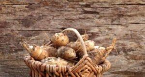 Topinambur vermehren über Knollen und Samen