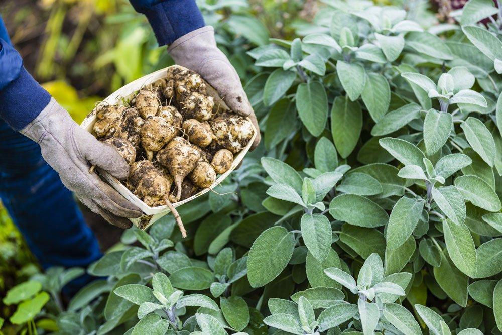 Topinambur vermehren – So gelingt es mit den Knollen und per Samen
