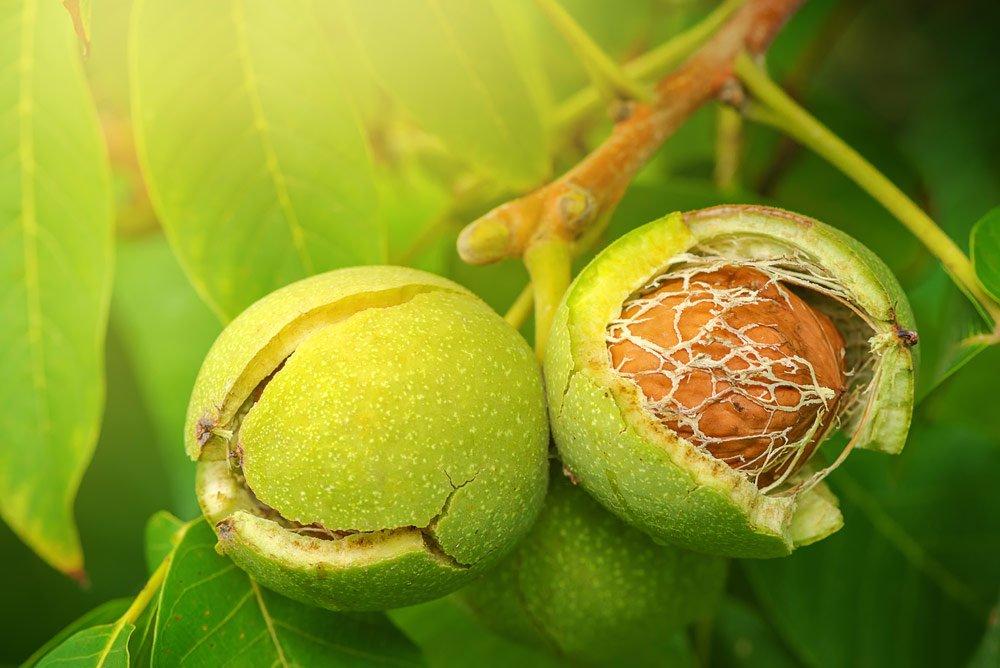 Walnussbaum vermehren über Früchte