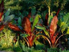 Zierbanane pflanzen