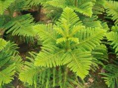 Zimmertanne pflanzen - Tipps zu Boden, Gefäß und Drainage