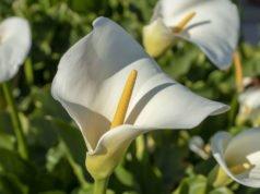 Calla pflanzen