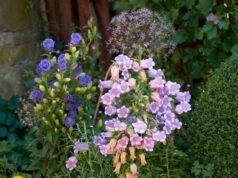 Glockenrebe vorziehen und pflanzen