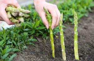 Grünen Spargel pflanzen - Tipps zu Standort und Boden