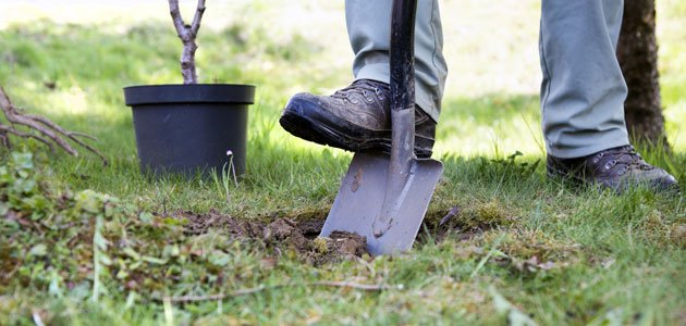 Kakibaum in den Garten pflanzen