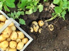 Boden mit Gemüse und Kartoffeln