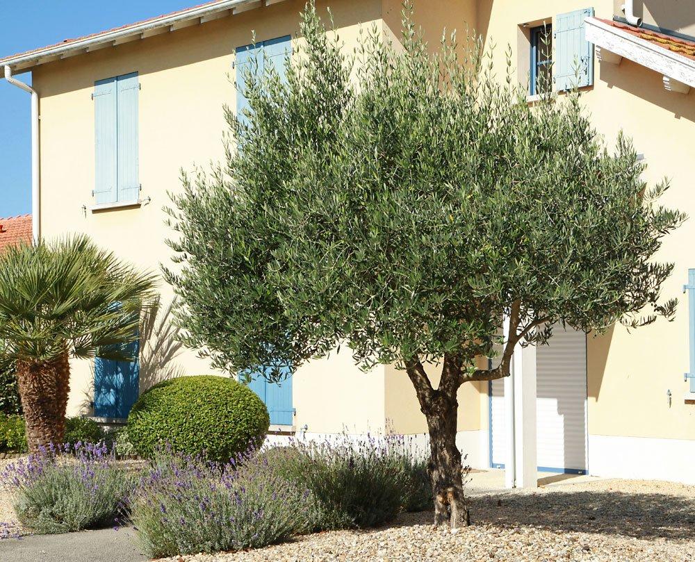 Olivenbaum vermehren