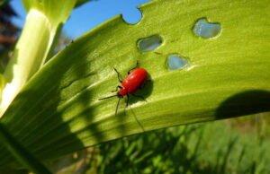 Palmlilie Krankheiten und Schädlinge