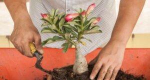 Wüstenrose pflanzen