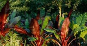 Zierbanane braune Blätter