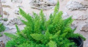 Zierspargel pflanzen