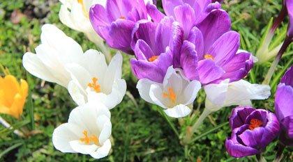 Blumenbeet Frühjahrsblüher