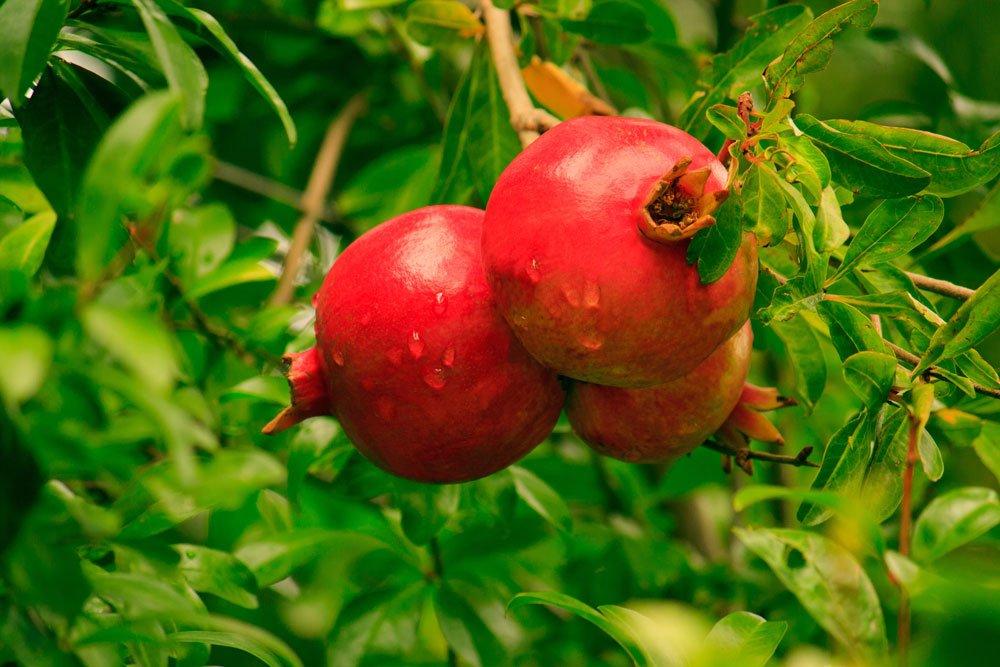 Granatapfelbaum Garten