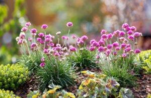 Grasnelke pflanzen