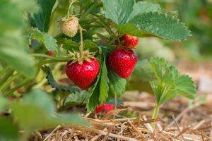 Obstgarten Erdbeeren