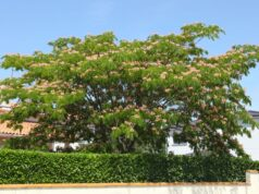 Seidenbaum: Krankheiten und Schädlinge