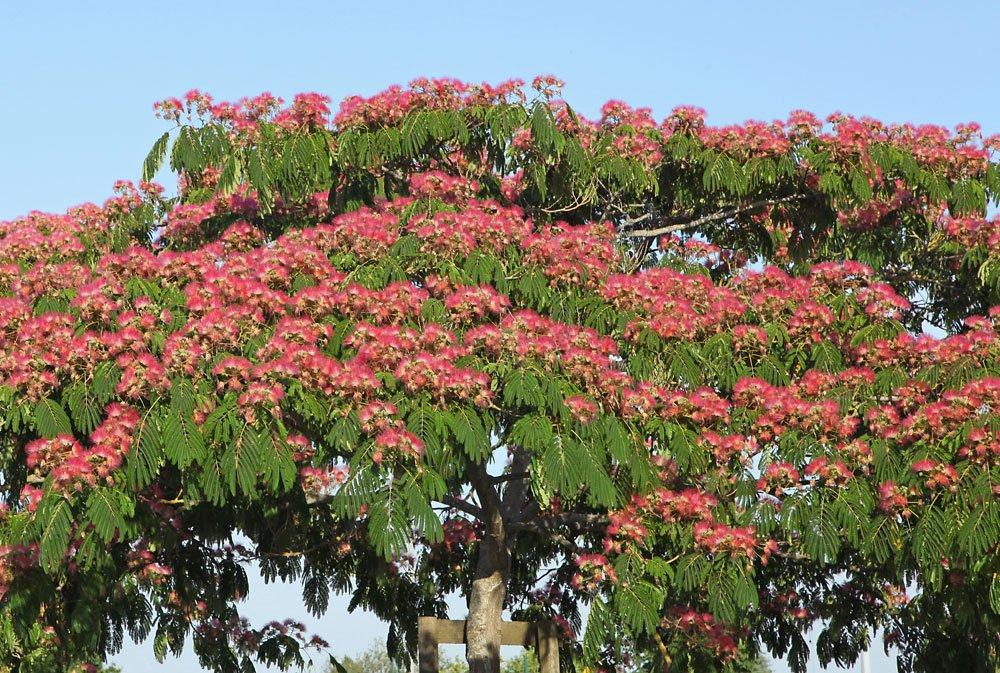 Seidenbaum pflegen
