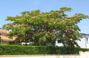 Seidenbaum vermehren