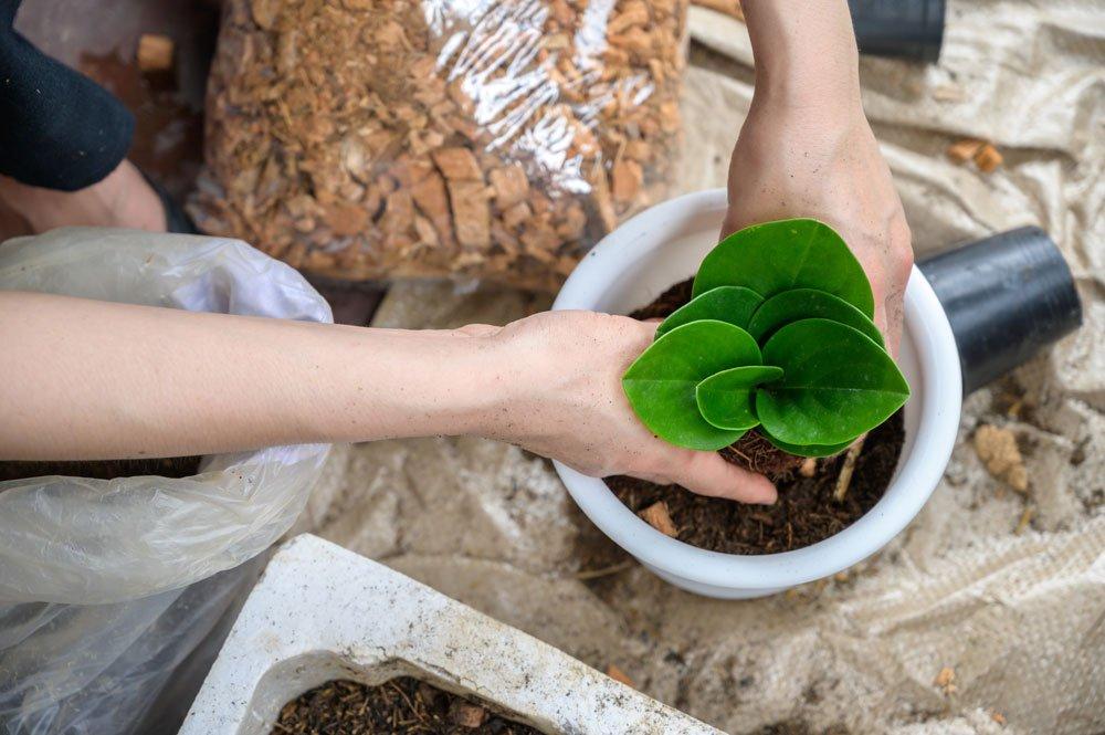 Zwergpfeffer im Kübel pflanzen