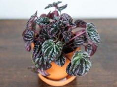 Zwergpfeffer pflanzen