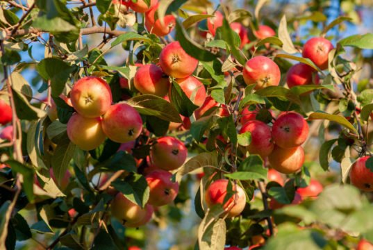 Apfelbaum umpflanzen