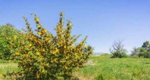 Flanellstrauch pflanzen