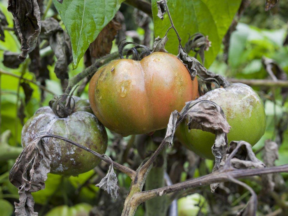 Frucht- und Stängelfäule