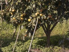 Kakibaum pflanzen